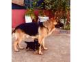 purebred-german-shepherd-puppies-small-0