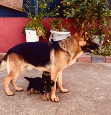 purebred-german-shepherd-puppies-big-0